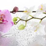 Орхидеи 0029