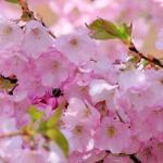 Розово-малиновые цветы № 0660