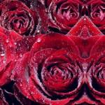 Розы № 0676