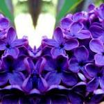 Фиолетовые цветы 0678