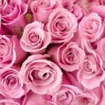 Розы № 0680