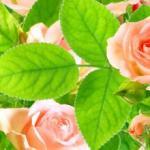 Розы № 0682