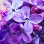 Фиолетовые цветы 0748