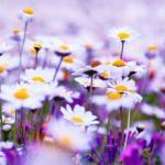 Фиолетовые цветы 0866