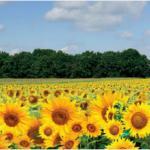 Желтые цветы № 1106