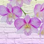 Орхидеи 1183