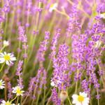 Фиолетовые цветы 1506