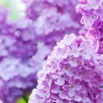 Фиолетовые цветы 1598