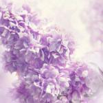 Фиолетовые цветы 1623