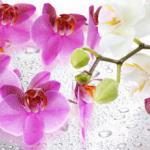 Орхидеи 1714