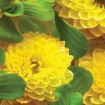 Желтые цветы № 1924