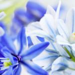 Сине-голубые цветы № 2654