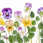 Фиолетовые цветы 3116