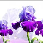 Фиолетовые цветы 3628