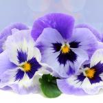 Фиолетовые цветы 5453