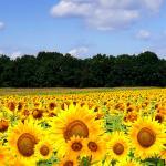 Желтые цветы № 5613