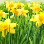 Желтые цветы № 6806