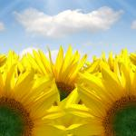 Желтые цветы № 7250